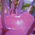 紫苤蓝图鉴
