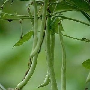 酱腌四季豆的方法